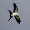 Swallow-tailed Kite IMG_0016