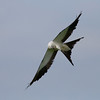 Swallow-tailed Kite IMG_0026