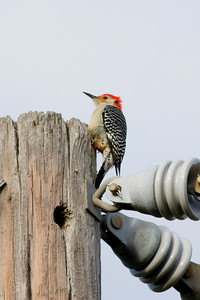 Red-bellied Woodpecker IMG_1049