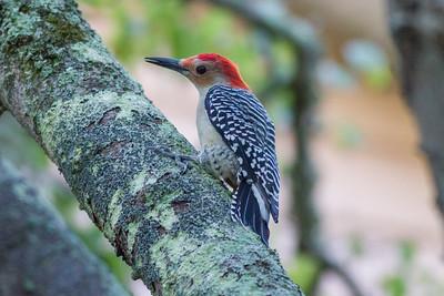 Red-bellied Woodpecker IMG_4597