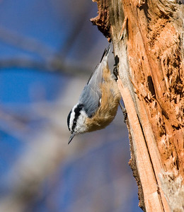 Red-breasted Nuthatch IMG_1167 rev 1