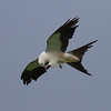 Swallow-tailed Kite IMG_0006