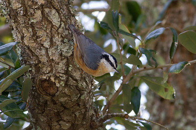Red-breasted Nuthatch IMG_0938