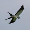 Swallow-tailed Kite IMG_0011