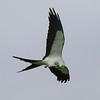 Swallow-tailed Kite IMG_0010