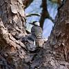 Red-cockaded Woodpecker IMG_9895