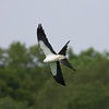 Swallow-tailed Kite IMG_9879
