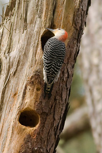Red-bellied Woodpecker IMG_1613 rev 1