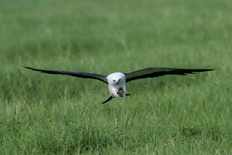 Swallow-tailed Kite IMG_9964