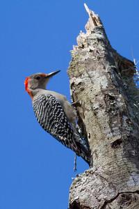 Red-bellied Woodpecker IMG_4614