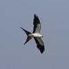 Swallow-tailed Kite IMG_9853