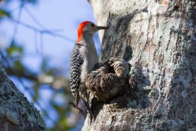 Red-bellied Woodpecker IMG_4635