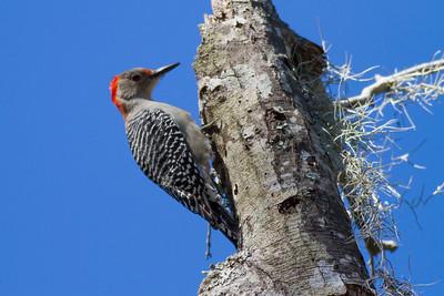 Red-bellied Woodpecker Rev 1 IMG_4614