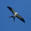 Swallow-tailed  Kite IMG_9467