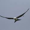 Swallow-tailed Kite IMG_9957