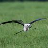 Swallow-tailed Kite IMG_9956