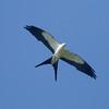 Swallow-tailed  Kite IMG_9466