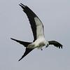 Swallow-tailed Kite IMG_0008
