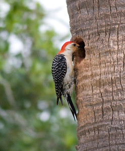 Red-bellied Woodpecker IMG_3595 rev 1