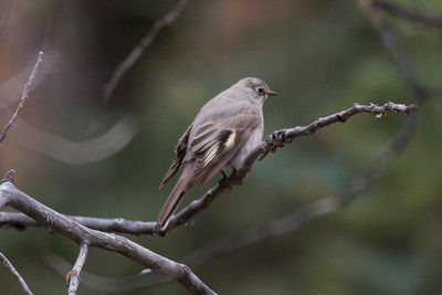 Townsend's Solitaire IMG_5397