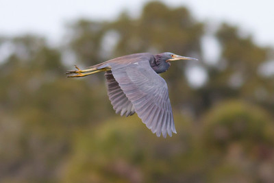 Tricolored Heron IMG_1027