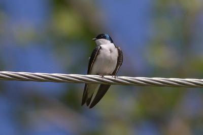 Tree Swallow IMG_9990