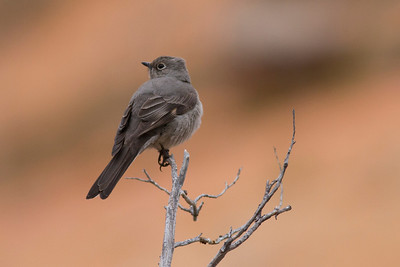Townsend's Solitaire IMG_1813