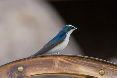 Tree Swallow IMG_5346