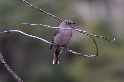 Townsend's Solitaire IMG_5393