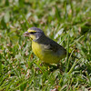 Yellow-fronted Canary IMG_8452