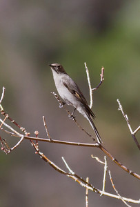 Townsend's Solitaire IMG_1426