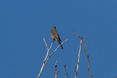 Townsend's Solitaire IMG_8123
