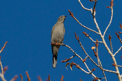 Townsend's Solitaire IMG_8134
