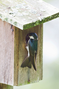 Tree Swallow IMG_0663