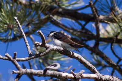 Tree Swallow IMG_4935