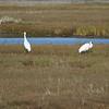 Whooping Cranes IMG_6795