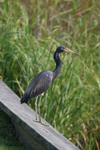 Tricolored Heron IMG_4036