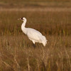 Whooping Crane IMG_6789