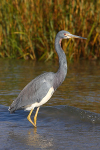 Tricolored Heron IMG_0225