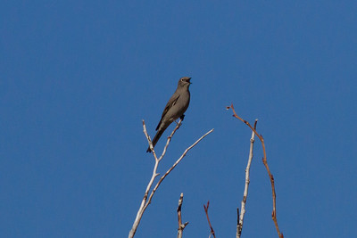 Townsend's Solitaire IMG_8125