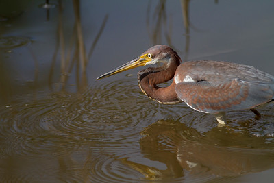 Tricolored Heron IMG_0218