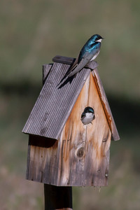 Tree Swallow IMG_5147