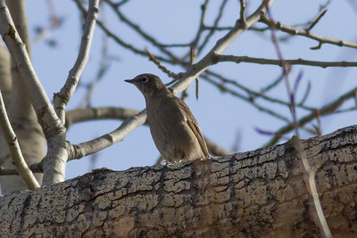 Townsend's Solitaire IMG_8034