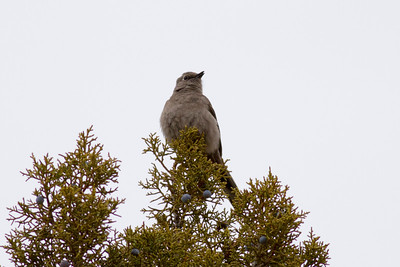 Townsend's Solitaire IMG_1804