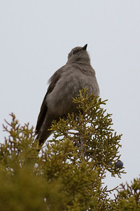 Townsend's Solitaire IMG_1808