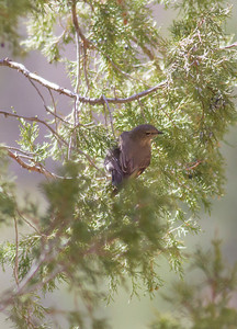 Townsend's Solitaire IMG_1434