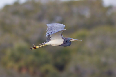 Tricolored Heron IMG_1028