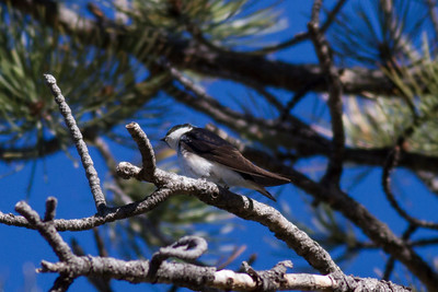 Tree Swallow IMG_4934