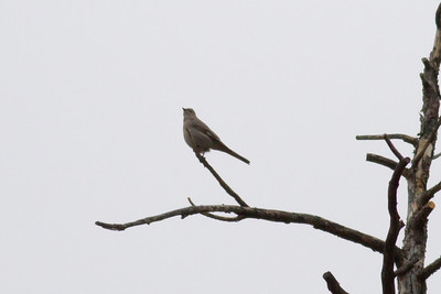 Townsend's Solitaire IMG_1642