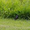 The ubiquitous Magpie